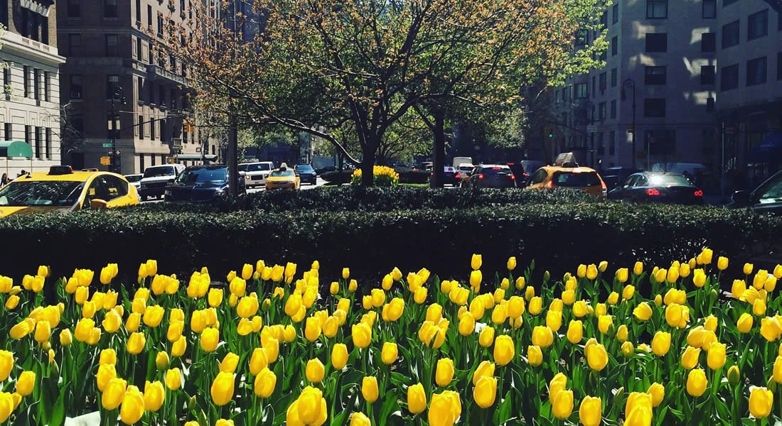 A garden of yellow tulips grows in the median between two busy New York City roads