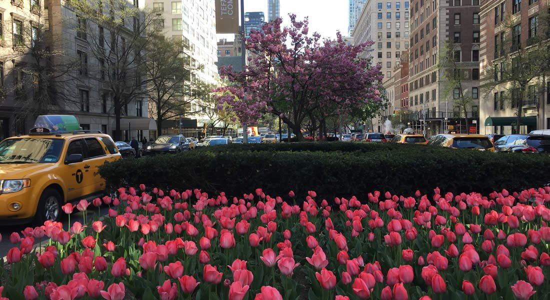 Pink tulips grow on the median between two busy New York City roads