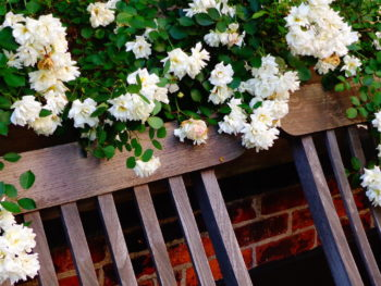 Teak Outdoor Benches and White Rose Blossoms